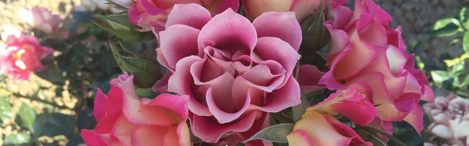 A primavera sboccia<br> la <em>Rosa di Brera</em>