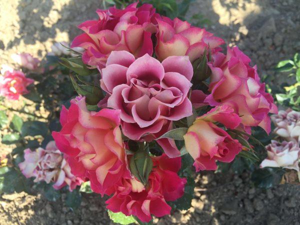 Sboccia <em>La rosa di Brera</em>